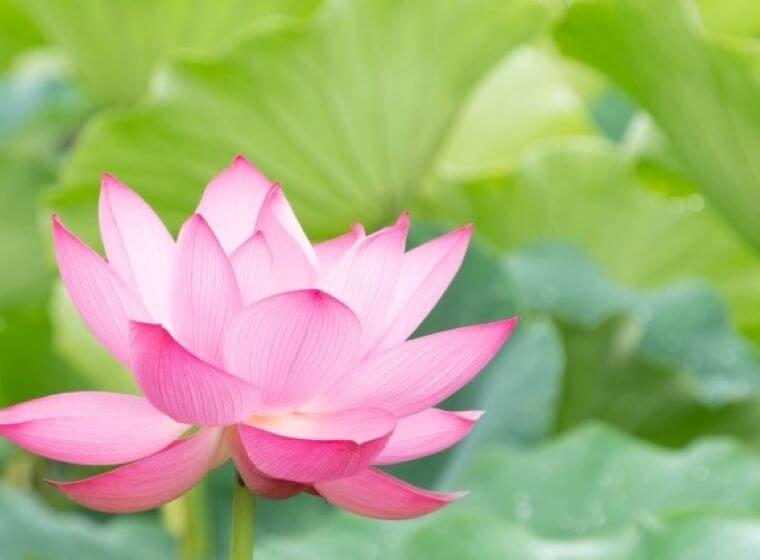 蓮池に咲くピンク色の蓮の花